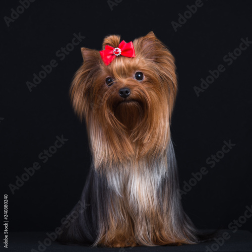 Fotografie, Obraz  Dog breed Yorkshire Terrier on a black background.