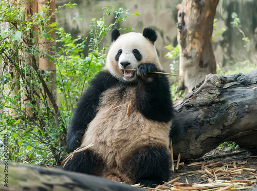 Fotografija  Giant panda eating bamboo,Wild Animals.