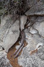Tree Root Splitting A Rock