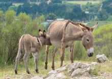 A Wild Donkey Suckling Her Baby
