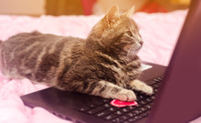Beautiful Gray Tabby Cat With A Laptop With A Heart. Funny Pet. Pink Background. Valentine's Day And Love. Selective Focus