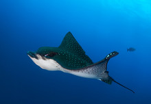 Eagle Ray Swimming By In Galap...