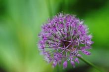 Purple Allium Bulbs Flower Bac...