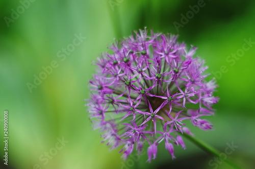 Purple allium bulbs flower background close-up Canvas Print