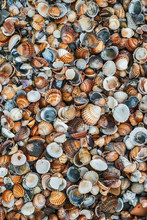 Shells Of Many Types And Sizes On The Beach