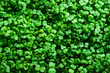 microgreen mustard sprouts green textural background