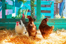 Hens In A Poultry Hen House With Straw