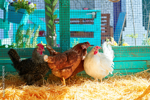 Stampa su Tela Hens in a poultry hen house with straw