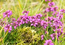 Closeup Of Bell Heather Flowers (prob. Erica Cinerea) In Scottish Heathland