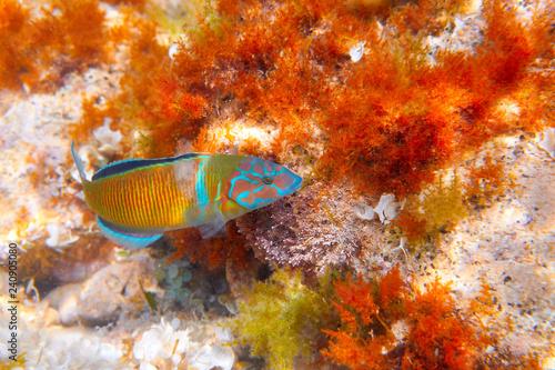 Fredy fish Thalassoma Pavo Mediterranean Fototapet