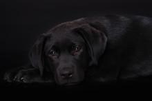 Labrador Puppy On Black Background