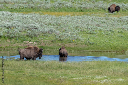Aluminium Prints American Bison in the Lamar Valley of Yellowstone National Park USA