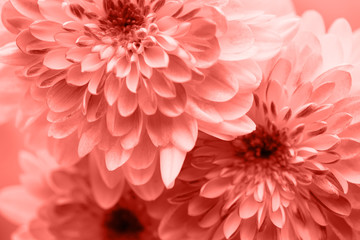 Dahlia living coral flowers close up for yellow background.