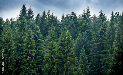 Photo Stands Forest a spruce forest