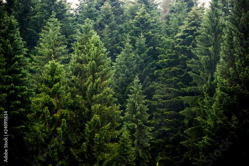 Fototapeta a spruce forest obraz