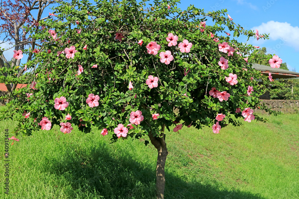 Flowering Pink Hibiscus Tree on Easter Island, Chile, South America