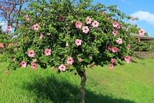 Flowering Pink Hibiscus Tree O...