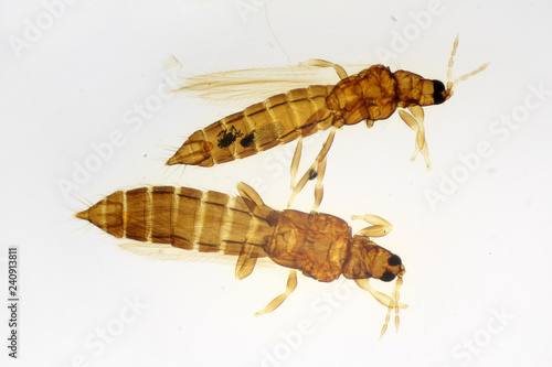 Pea thrips or Thrips meridionalis (syn. Taeniothrips meridionalis) under the microscope