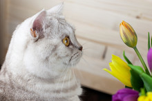 Cat Of The British Breed Is Looking At The Tulips