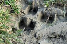 Deer Footprint In The Mud. Slovakia