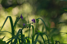 Purple Spiderwort Flowers In The Woods