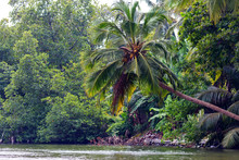 Single Palm Tree And Mangroves...