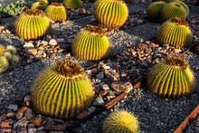 Golden Barrel Cactus With Sunlight