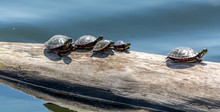 Family Of Turtles Taking A Sunbath In Fauvel Lake, Blainville, Quebec, Canada