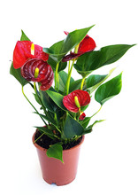 Red Anthurium In Pot On White Background