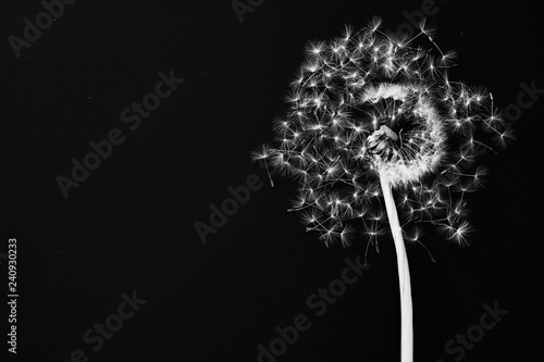 Foto-Fahne - Dandelion and seeds on black background (von MaxPhotoArt)
