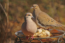 Pair Of Mourning Doves On Bird Bath