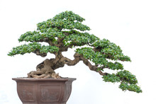 Bonsai Tree Of Hokiantea (Carm...