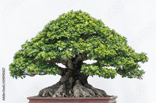 Recess Fitting Bonsai bonsai tree isolated on white