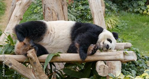 Panda sleep on the wood Canvas Print