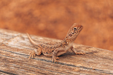A Lizard In The Australian Outback Dessert, Living In The Red Sand