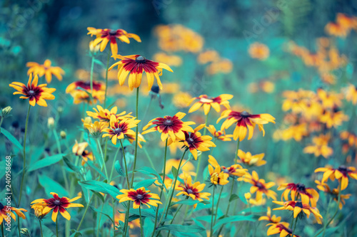 Fényképezés  Vintage floral background. Black-eyed Susan Flowers in the garden