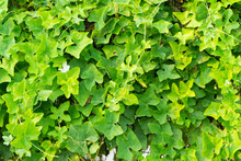 Coccinia Grandis (Voigt) Or Ivy Gourd Plant