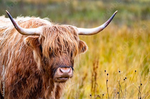 Fototapeta Highland cattle - Bo Ghaidhealach -Heilan coo - a Scottish cattle breed with characteristic long horns and long wavy coats on the Isle of Skye in the rain , Highlands of Scotland obraz