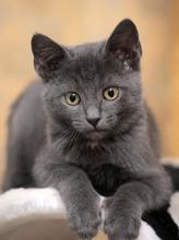 Russian Blue Kitten. Creature, Close.