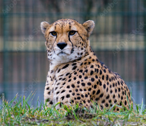 Cheetah in ZOO in Pilsen, Czech Republic