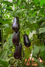 Eggplant Hybrid F1 Growing In A Plastic Tunnel