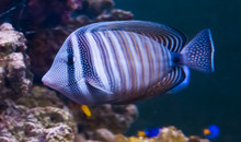 Red Sea Sailfin Tang In Closeu...