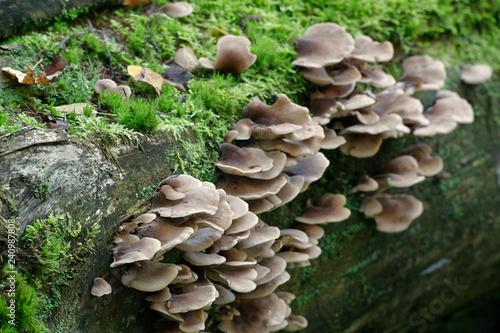 Fotografie, Obraz  Lentinellus castoreus, wild mushroom from Finland