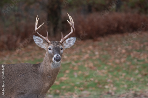 Keuken foto achterwand Hert White-tailed deer buck along the edge of the woods