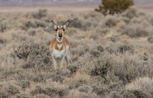 Pronghorn Antelope Doe