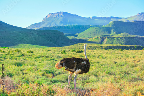 A Wild Ostrich in Karoo National Park. Beaufort West, South Africa. Mountain background and grass.