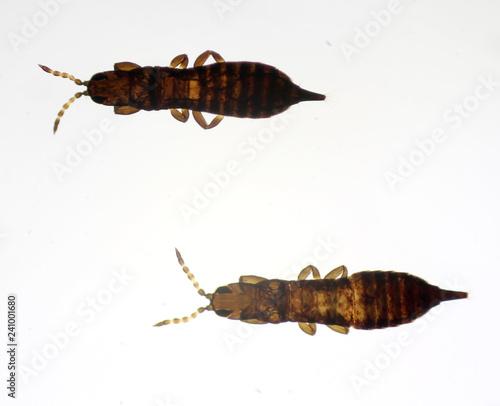 Cephalothrips monilicornis under the microscope