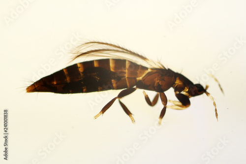 Odontothrips sp. under the microscope