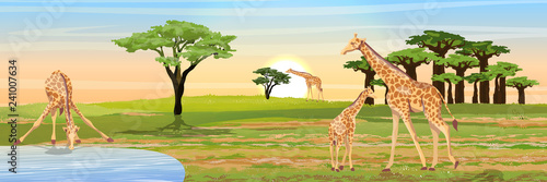 Giraffe at the watering place. Adult giraffes and young giraffe child. African savannah. Coast of the river or lake. Realistic vector landscape. The nature of Africa. Reserves and national parks.