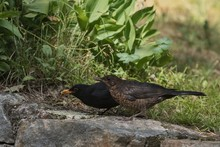 Male And Female Blackbird (Turdus Merula).